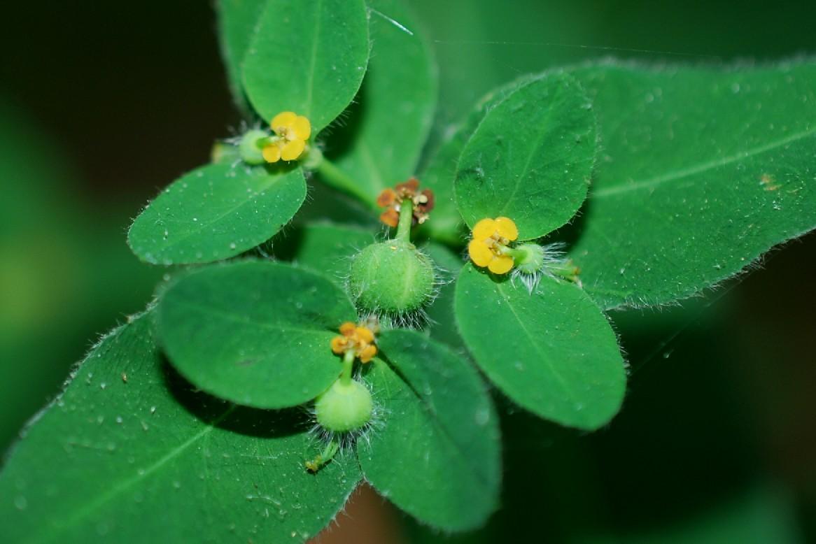 Euphorbia hirsuta 7