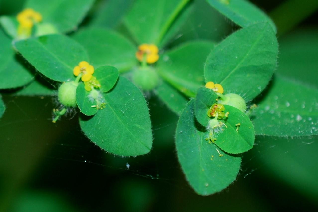 Euphorbia hirsuta 8