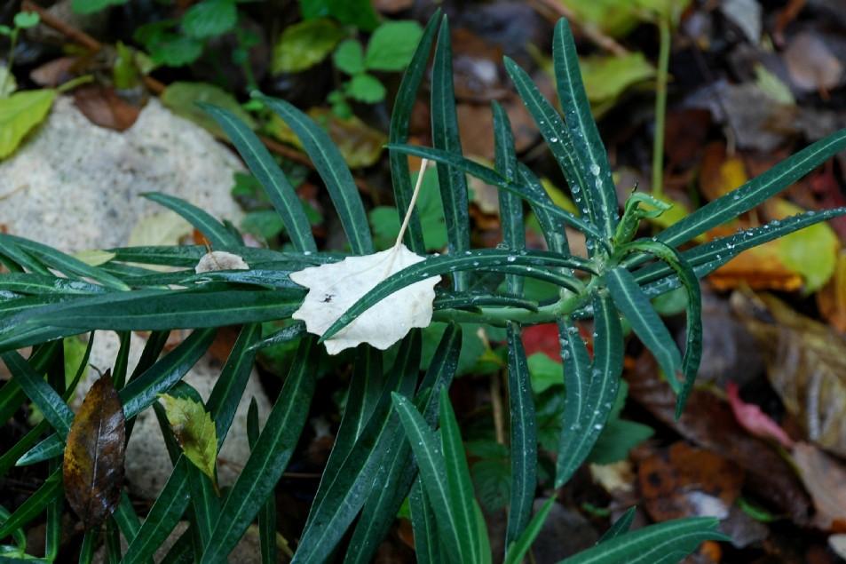 Euphorbia lathyris 3