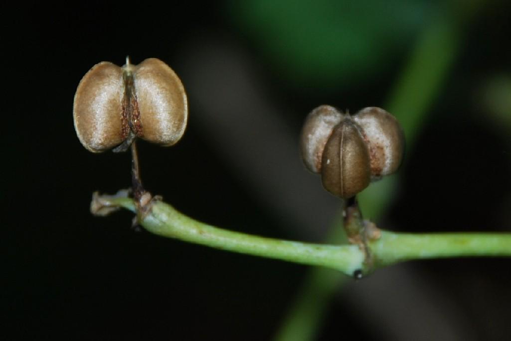 Euphorbia lathyris 4