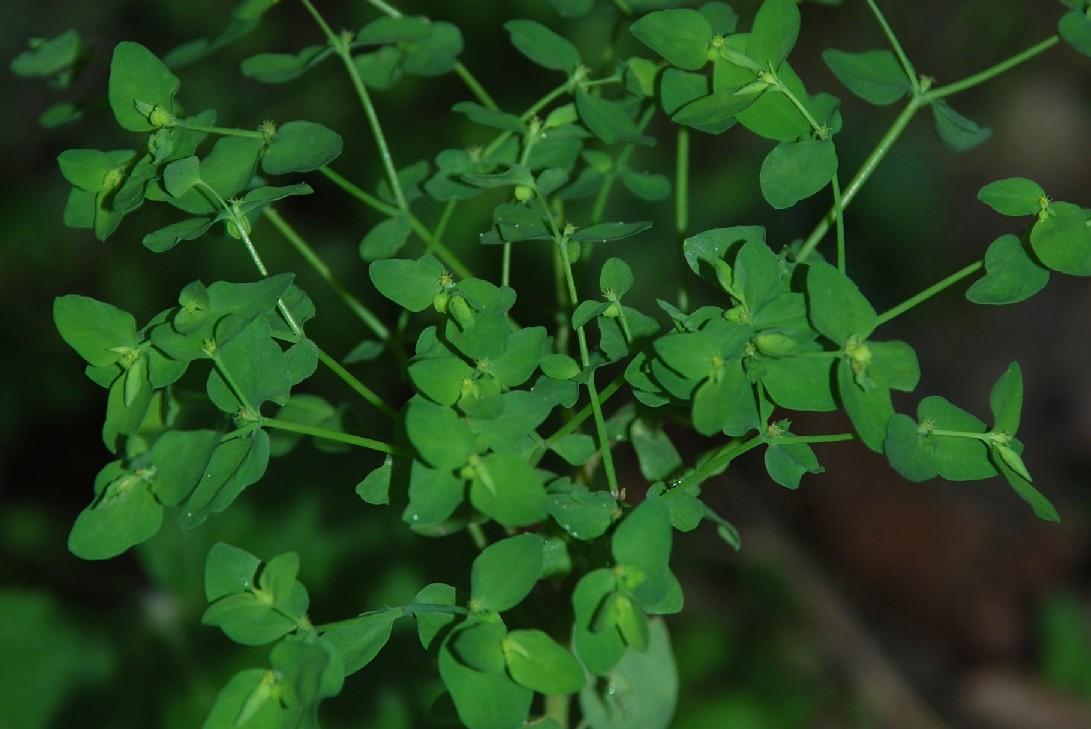 Euphorbia peplus 10