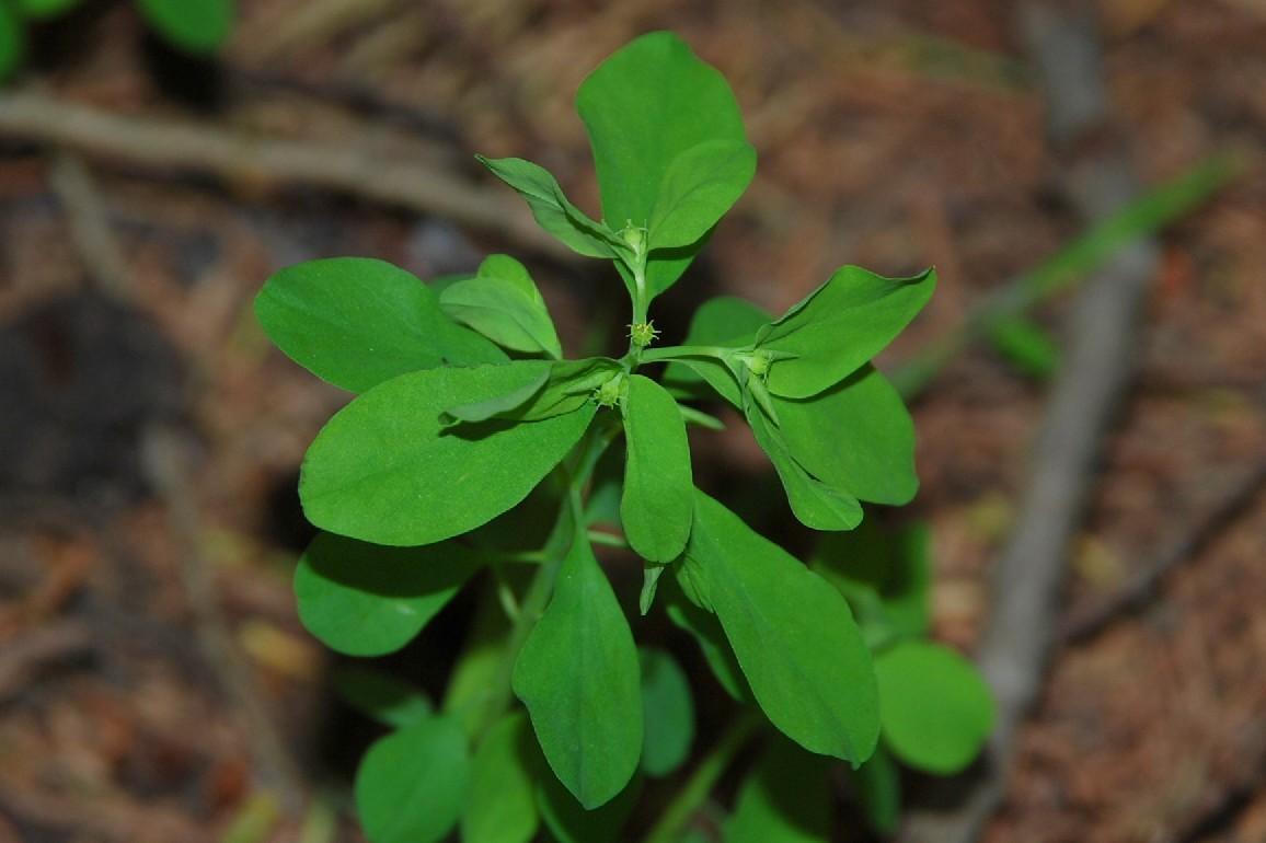 Euphorbia peplus 13