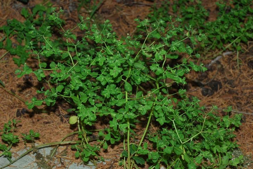 Euphorbia peplus 15