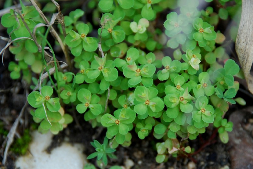 Euphorbia peplus 9