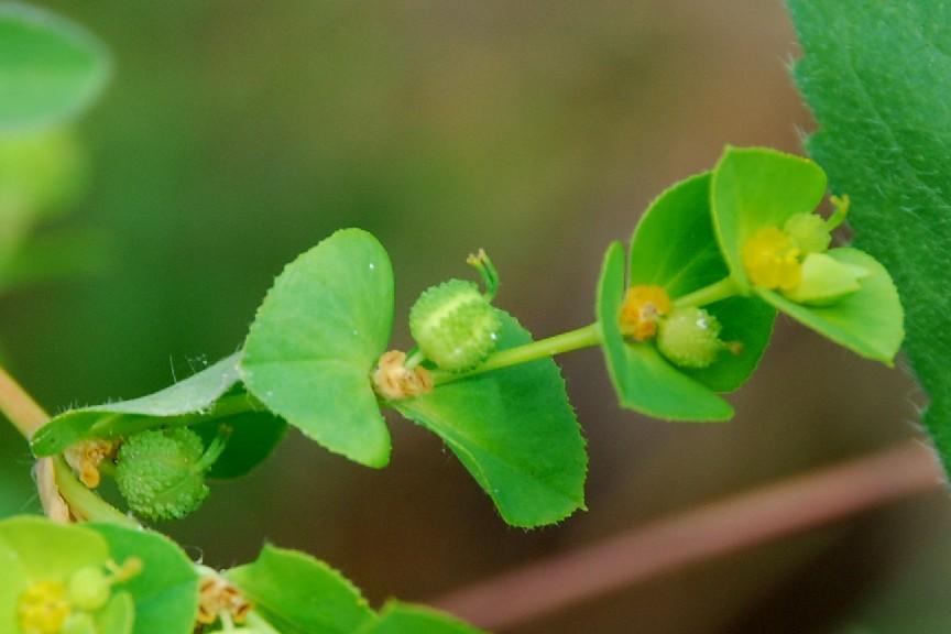 Euphorbia plathyphyllos subsp. plathyphyllos