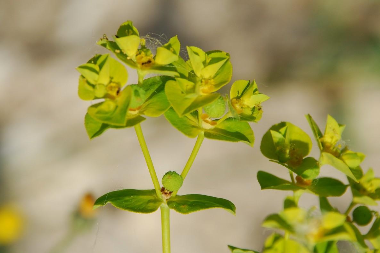 Euphorbia platyphyllos subsp. platyphyllos 10