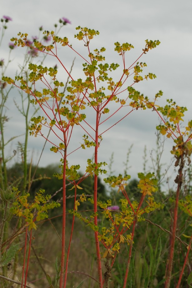 Euphorbia platyphyllos subsp. platyphyllos 13