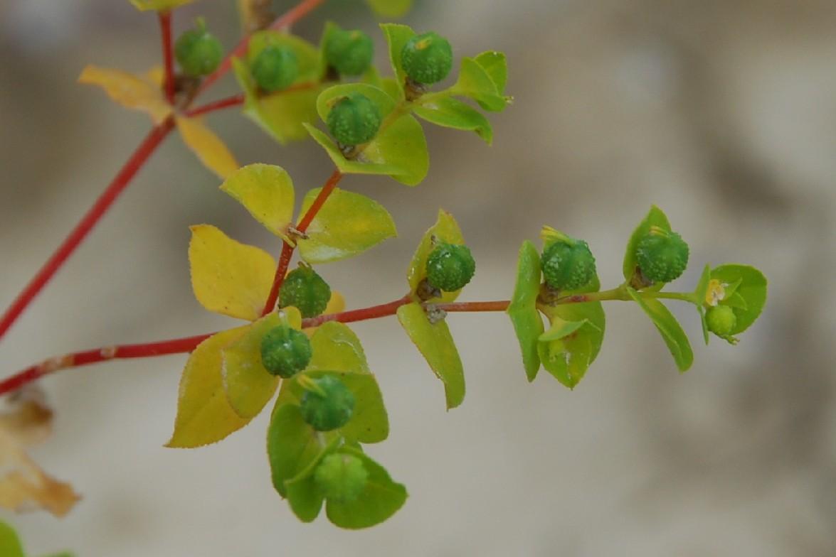 Euphorbia platyphyllos subsp. platyphyllos 14
