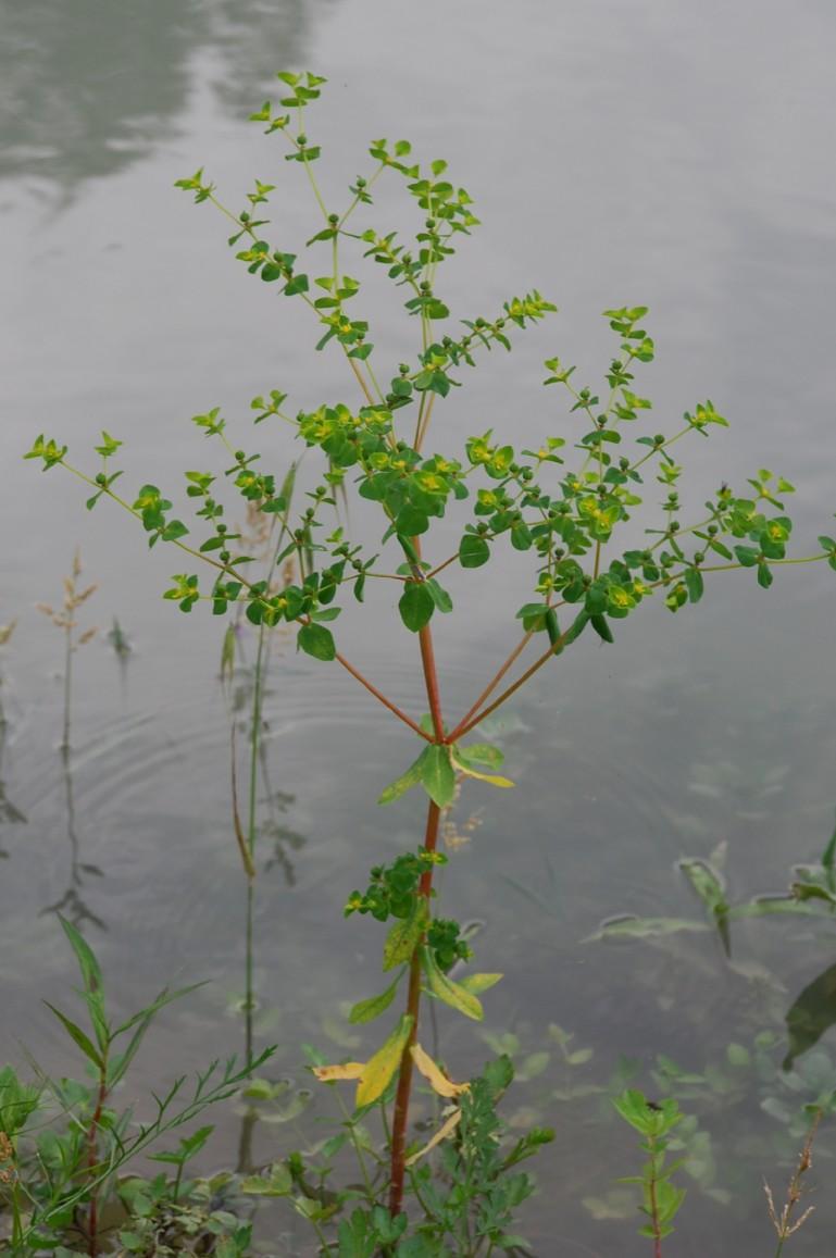 Euphorbia platyphyllos subsp. platyphyllos 15