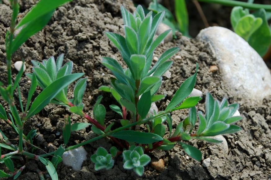 Euphorbia platyphyllos subsp. platyphyllos 18