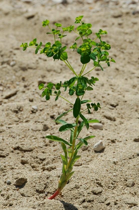 Euphorbia platyphyllos subsp. platyphyllos 21