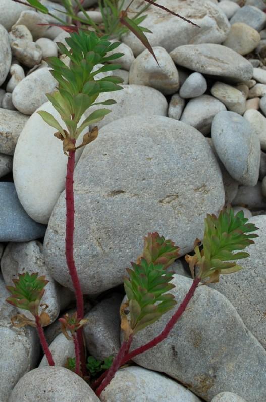 Euphorbia platyphyllos subsp. platyphyllos 25