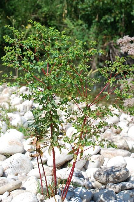 Euphorbia platyphyllos subsp. platyphyllos 4