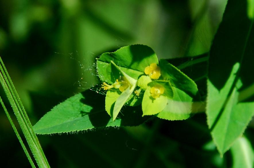 Euphorbia platyphyllos subsp. platyphyllos 6