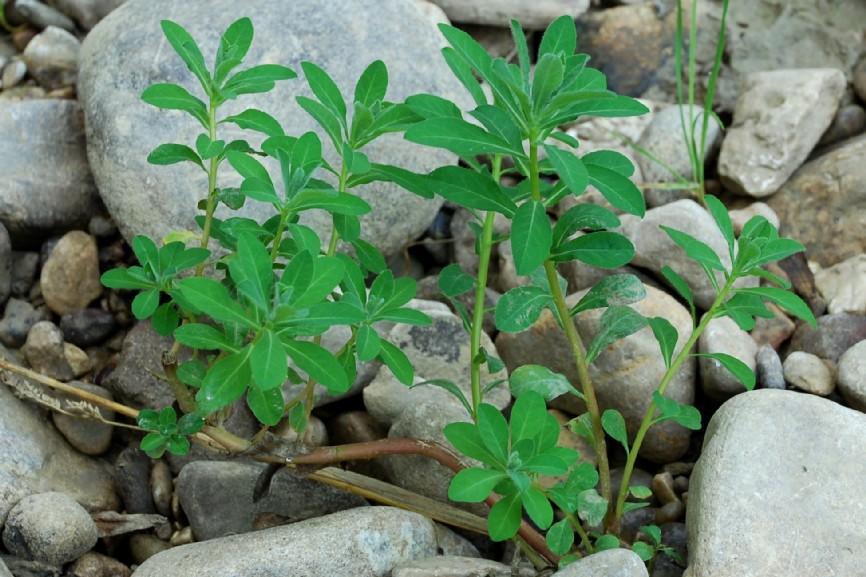 Euphorbia platyphyllos subsp. platyphyllos 7