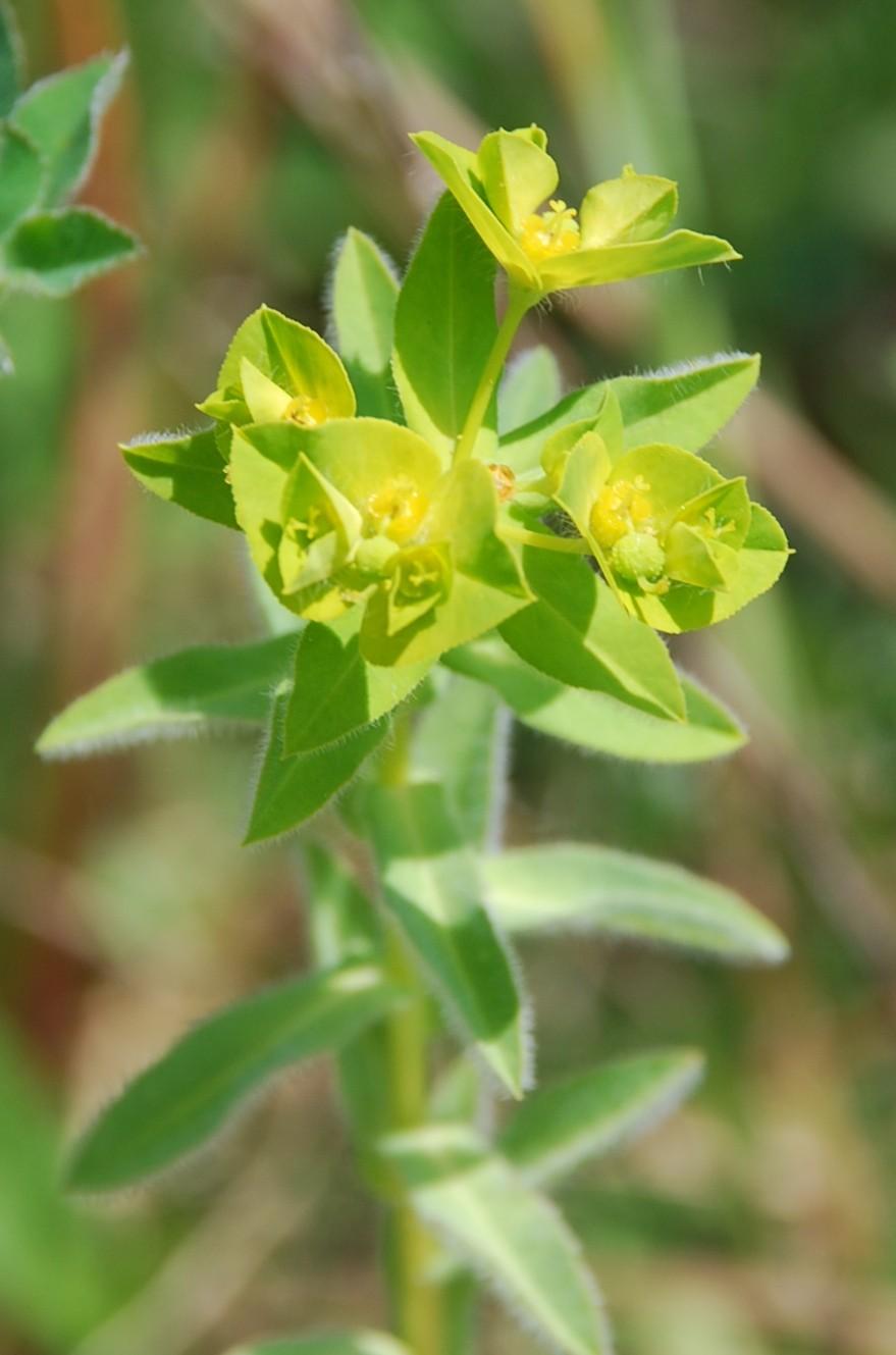 Euphorbia platyphyllos subsp. platyphyllos 8