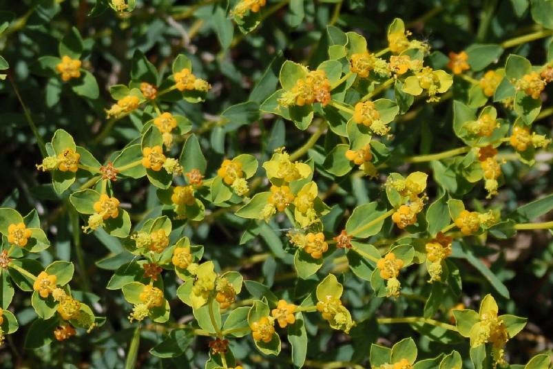 Euphorbia spinosa  subsp. spinosa