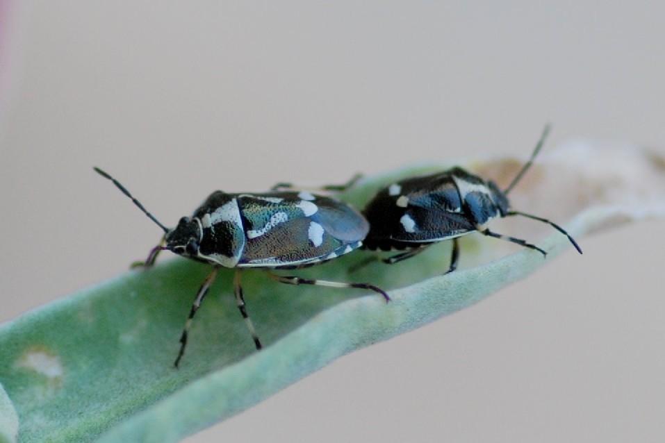 Eurydema oleracea - Pentatomidae