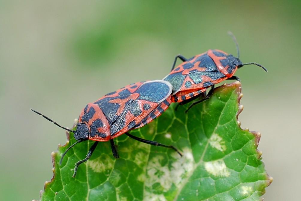 Eurydema sp. - Pentatomidae