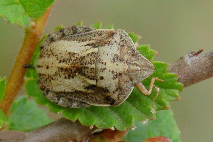 Eurygaster sp. - Scutellaridae