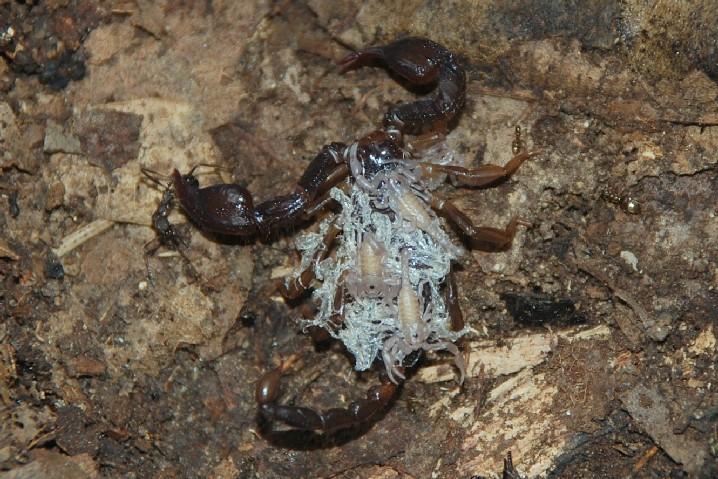 Euscorpius sp. - Euscorpiidae