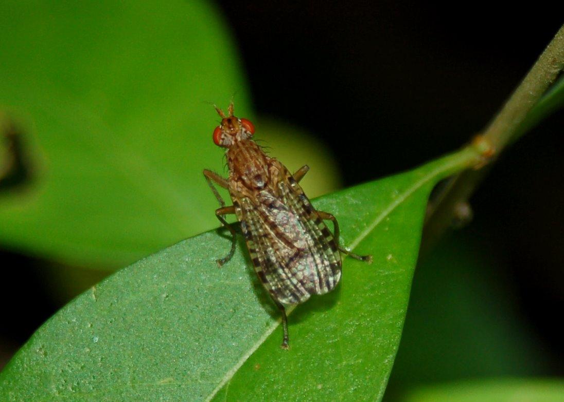 Euthycera chaerophylli -  Sciomyzidae