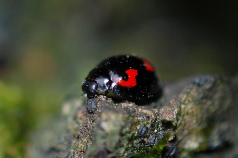 Exochomus quadripustulatus - Coccinellidae