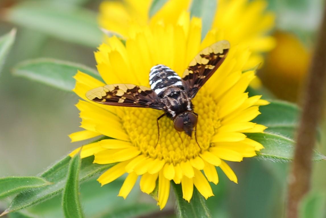 Exoporosopa jacchus - Bombyliidae
