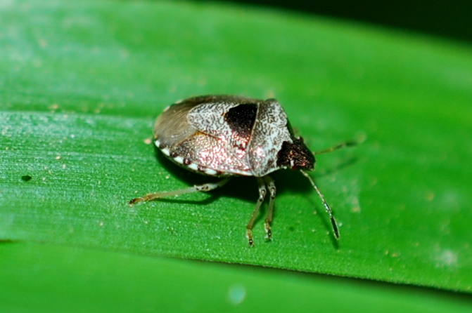 Eysarcoris venustissimus - Pentatomidae