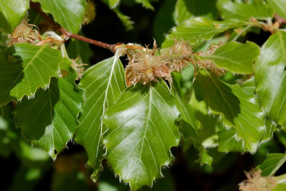 Fagus sylvatica subsp. sylvatica