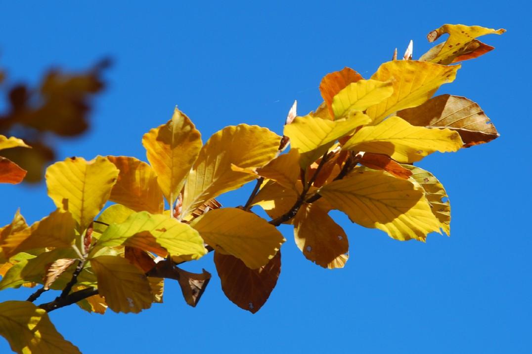 Fagus sylvatica subsp. sylvatica 10