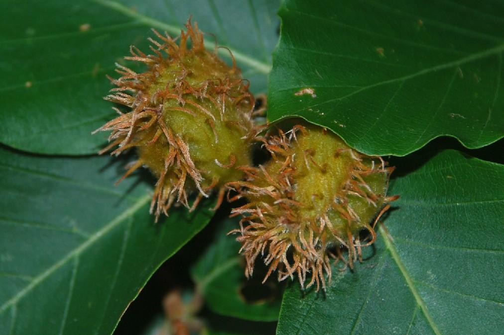 Fagus sylvatica subsp. sylvatica 14