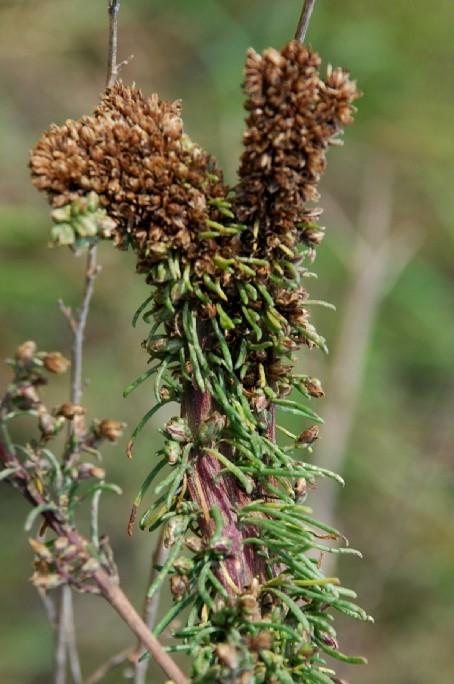Fasciazione su Artemisia campestris