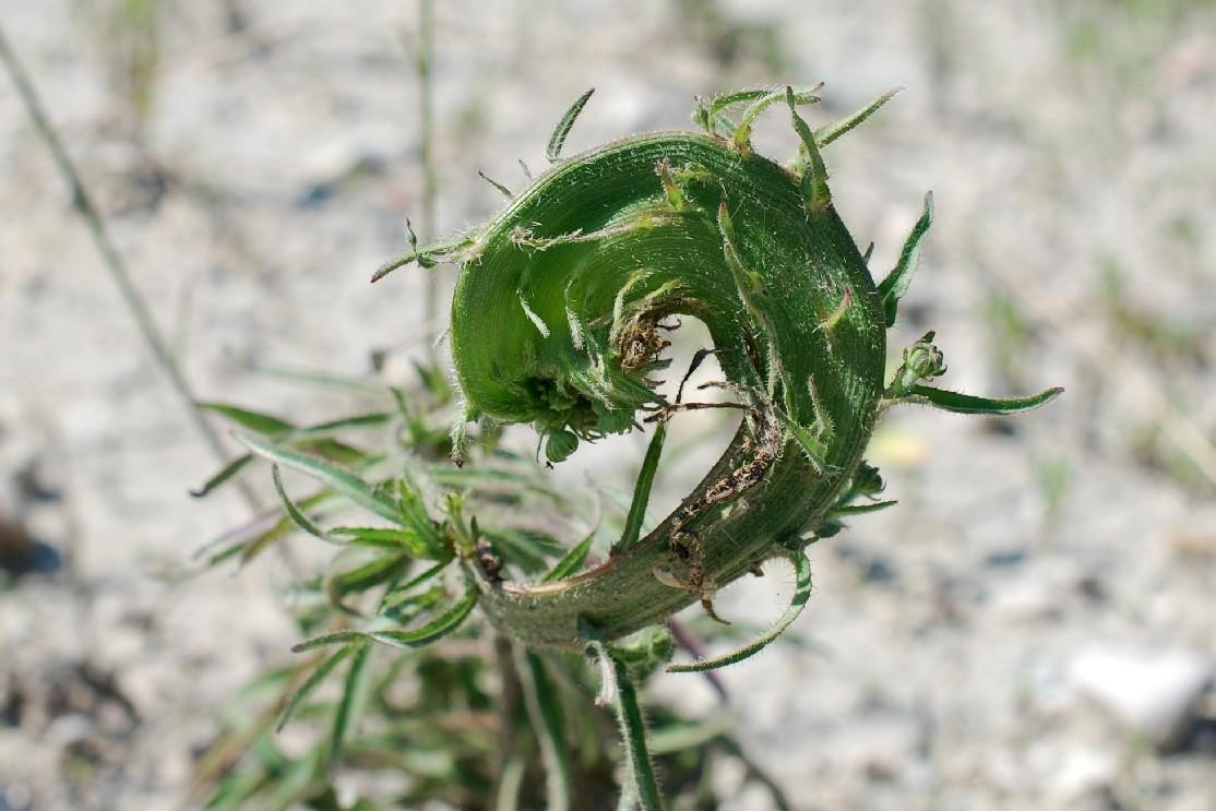 Fasciazione su Picris hieracioides