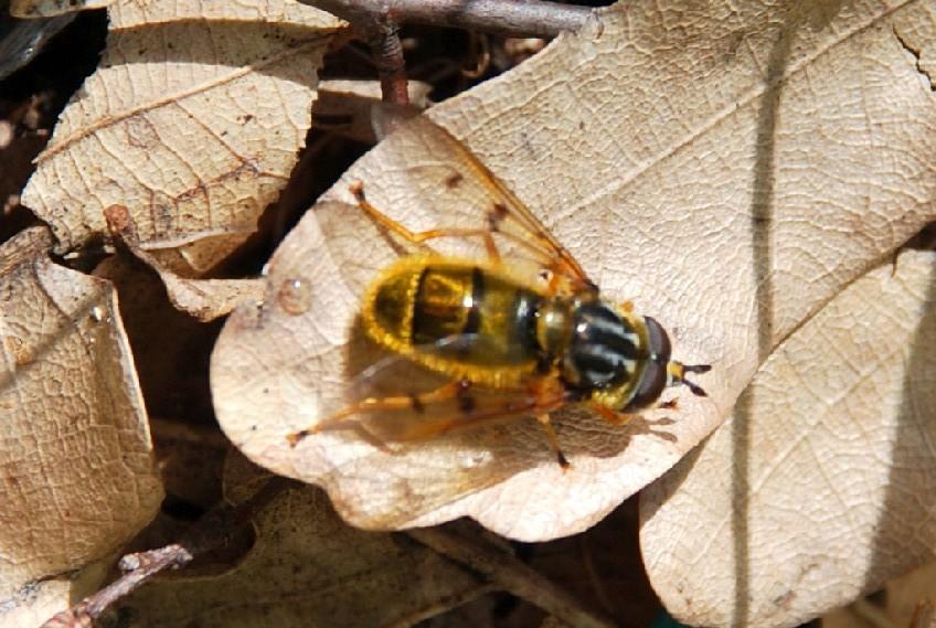 Ferdinandea sp. - Syrphidae