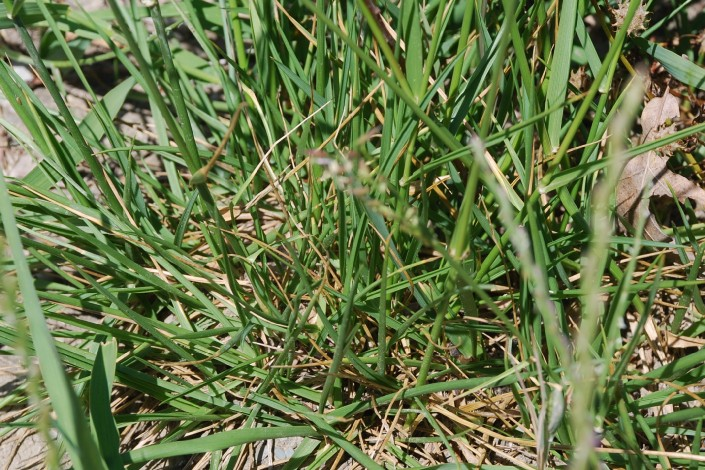 Festuca arundinacea subsp. arundinacea 12