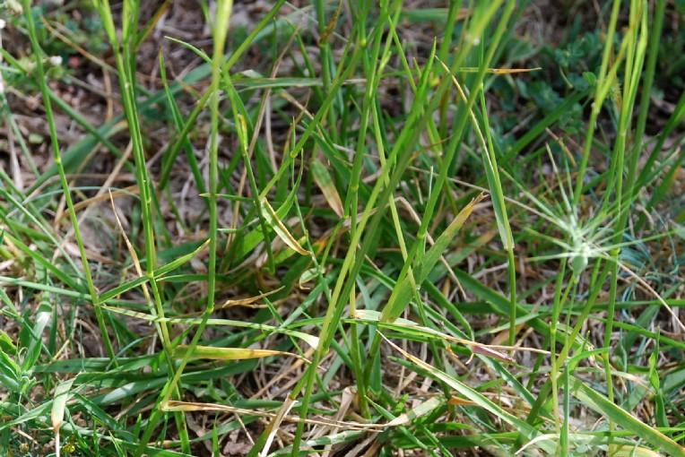 Festuca arundinacea subsp. arundinacea 16