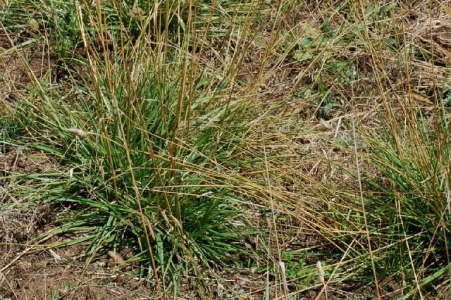Festuca arundinacea subsp. arundinacea 21