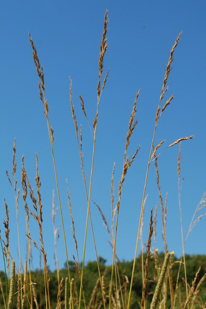 Festuca arundinacea subsp. arundinacea 4