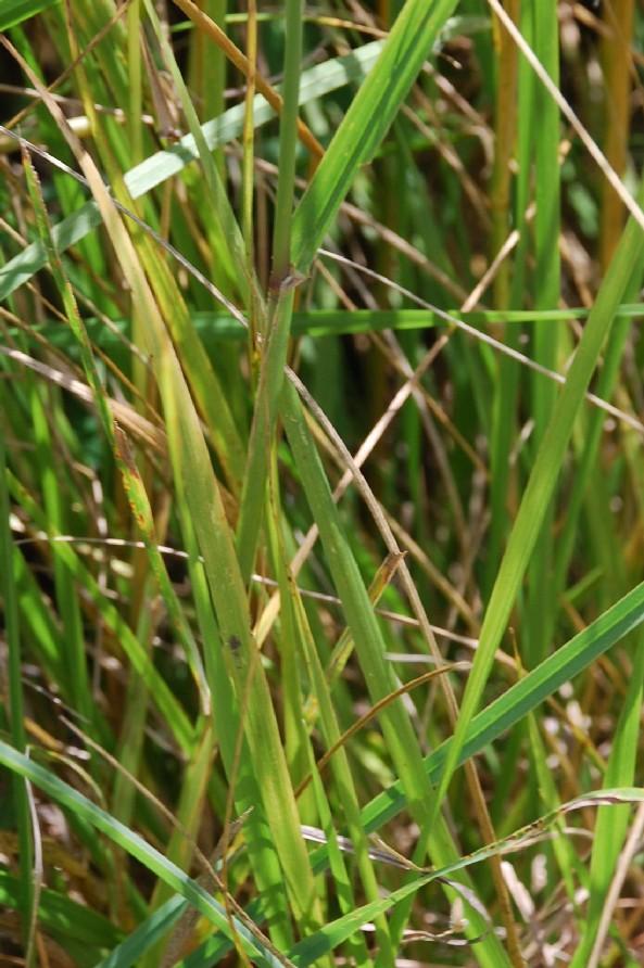 Festuca arundinacea subsp. arundinacea 5