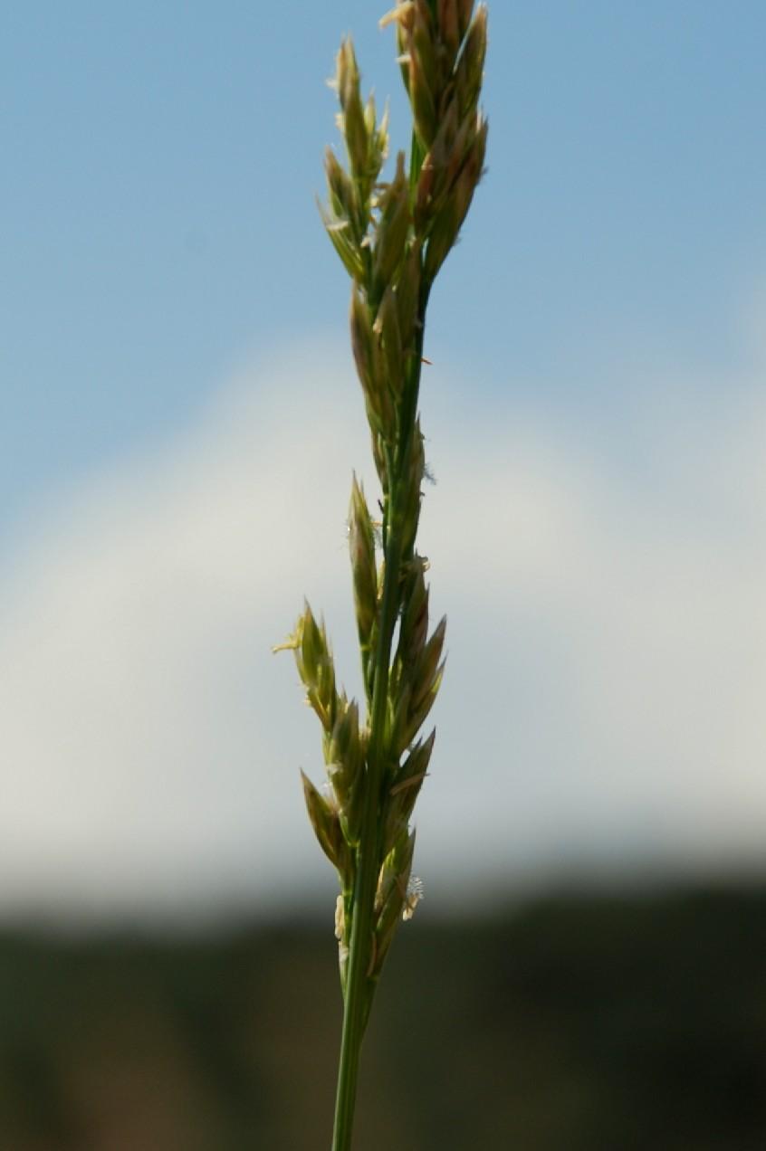 Festuca arundinacea subsp. arundinacea 6