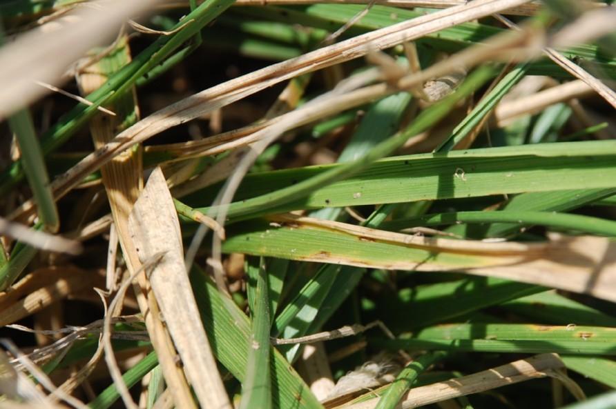 Festuca arundinacea subsp. arundinacea 7