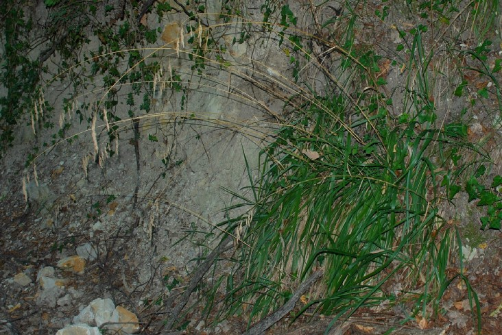 Drymochloa drymeja subsp. exaltata