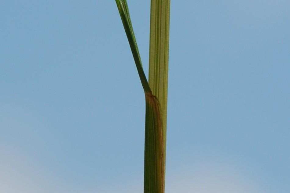 Festuca sp. 5
