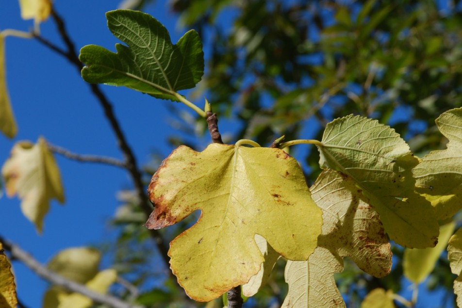 Ficus carica  2