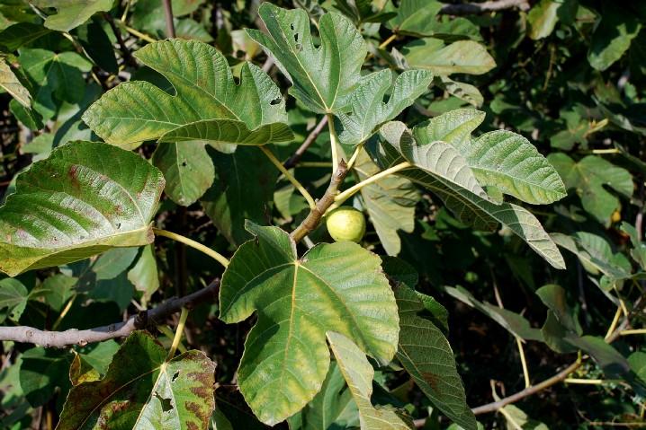 Ficus carica 4