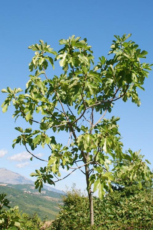 Ficus carica 9