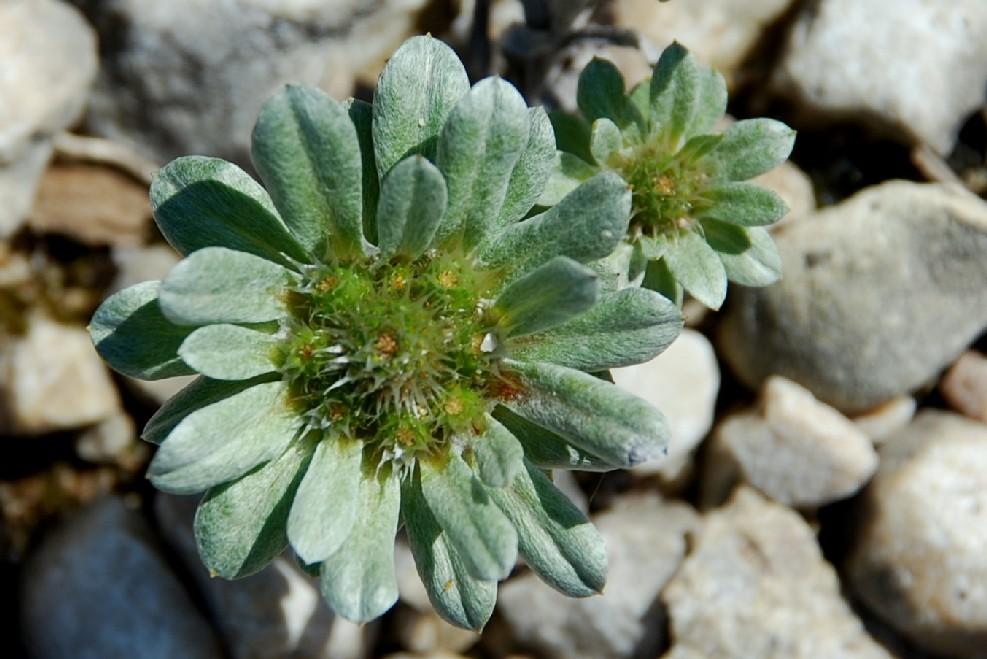 Filago pygmaea 2