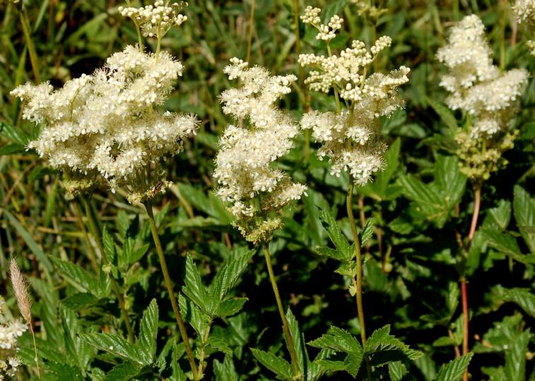 Filipendula ulmaria subsp. ulmaria