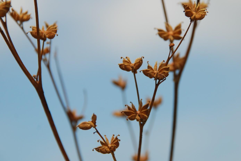 Filipendula vulgaris 10